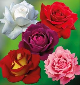 COLIBRIANT 5 ROSIERS BUISSONS : 1 ANNAPURNA + 1 PARFUN MAGIQUE + KETCHUP 1 MUSTARD + GRAFIN VON HARDENBERG + PARFUN DE LIBERTE