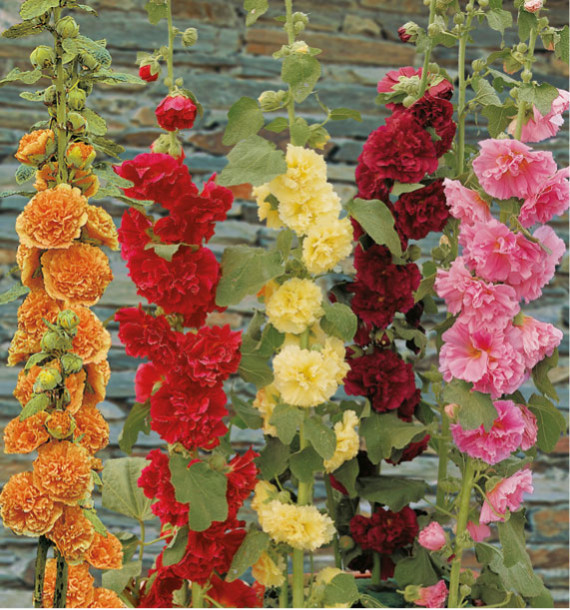 ROSES TREMIERES DOUBLES