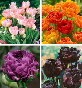 COLIBRIANT 30 TULIPES A FLEURS DE PIVOINES : 8 ANGELIQUE + 8 NEGRITA DOUBLE + 6 BLACK HERO + 8 SUN LOVER