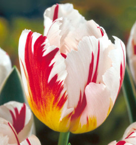 TULIPE TRIOMPHE HAPPY GENERATION