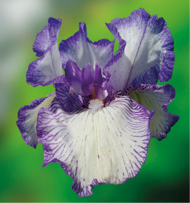 IRIS GERMANICA AUTUMN CIRCUS