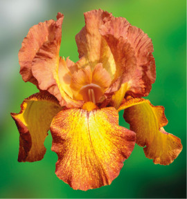 IRIS GERMANICA AUTUMN ECHO