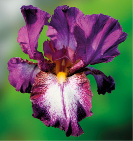IRIS GERMANICA AUTUMN ENCORE
