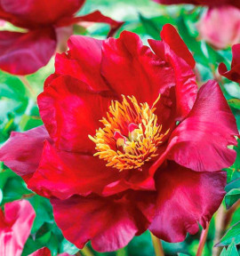 PAEONIA ITOH® SCARLET HEAVEN
