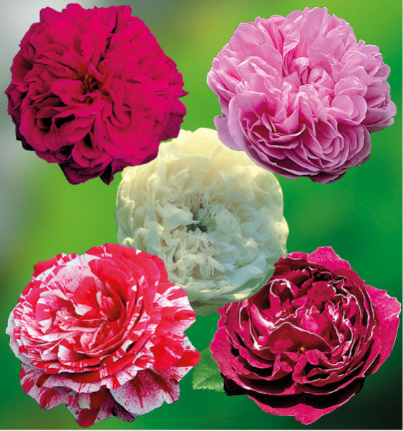 COLIBRIANT 5 ROSIERS ANCIENS