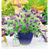 BUDDLEIA 'SUMMER BIRD® BLUE'