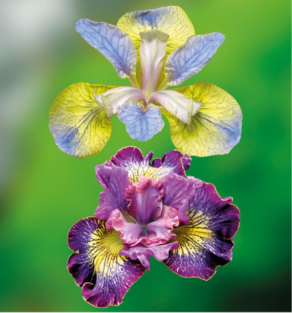 COLIBRIANT 2 IRIS SIBIRICA : 1 HOW AUDACIOUS + TIPPED ON BLUE