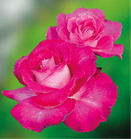 ROSIER HOT PINK® DORgevi