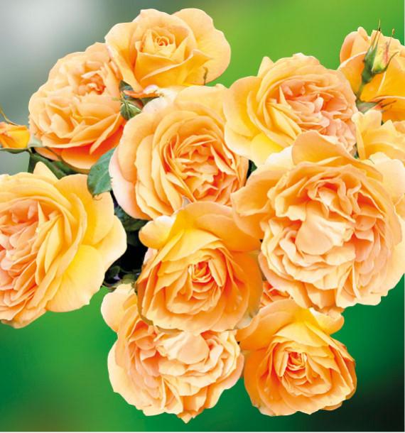 ROSIER BERNSTEIN ROSE® Taneitber