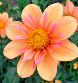 DAHLIA A COLLERETTE PALE TIGER