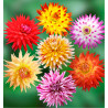 COLIBRIANT 7 DAHLIAS CACTUS : 1 B. V. ALOHA + 1 W. BEST + 1 W. + 1 JURA + 1 P. A. SHADE + 1 B. RIPPLE + 1 FIRED UP
