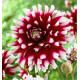 DAHLIA DECORATIF VERDI