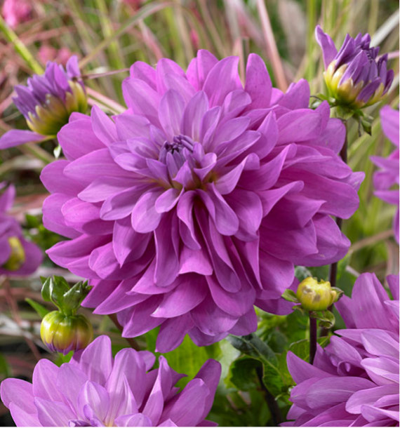 DAHLIA DECORATIF BLUETIFUL