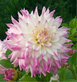 DAHLIA DECORATIF FERNCLIFF ILLUSION