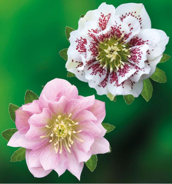 COLIBRIANT 2 HELLEBORES DOUBLES ELLEN® : 1 PINK + 1 WHITE SPOTTED