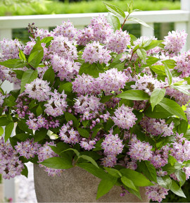 DEUTZIA RASPBERRY SUNDAE® Low18