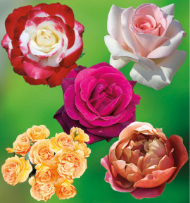 COLIBRIANT 5 ROSIERS BUISSONS : 1 DOUBLE DELIGHT + 1 BERNSTEIN ROSE + 1 CAVE DE TAIN + 1 PRINCE JARDINIER + 1 PINK VINTAGE
