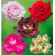 COLIBRIANT 5 ROSIERS BUISSONS : 1 GILLES DE BRISSAC + 1 PARFUM MAGIQUE + 1 EDDY MITCHEL + 1 HOT PINK + 1 GRETA