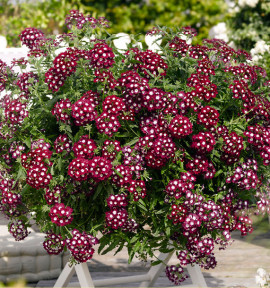VERVEINE EMPRESS® DARK RED CHARM