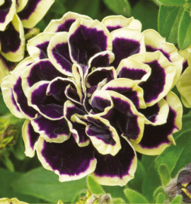 PETUNIA DOUBLE MYSTICAL® MIDNIGHT GOLD