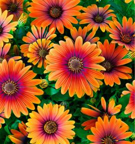DIMORPHOTECA FLOWER POWER® PURPLE SUN