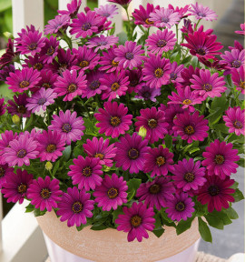 DIMORPHOTECA ASTRA® PURPLE IMPROVED