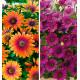 COLIBRIANT 2 DIMORPHOTECAS : 1 FLOWER POWER® PURPLE SUN + 1 ASTRA®PURPLE IMPROVED