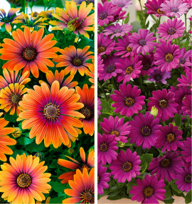 COLIBRIANT 2 DIMORPHOTECAS : 1 FLOWER POWER® PURPLE SUN + 1 ASTRA®PURPLE IMPROVED
