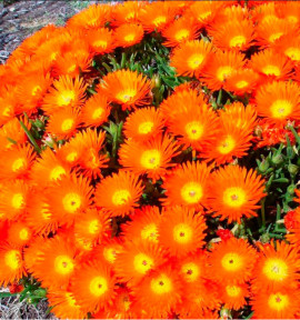 MESEMBRYANTHEMUM ORANGE