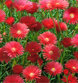 MESEMBRYANTHEMUM ROUGE