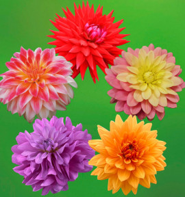 COLIBRIANT 5 DAHLIAS GROSSES FLEURS : 1 NOORDWIJKS GLORIE + 1 CARMEN + 1 BLUETIFUL + 1 BEL AMOUR + 1 WITTEMANS BEST