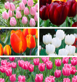COLIBRIANT 50 TULIPES SIMPLES HATIVES : 10 FLAIR + 10 PALLADA + 10 CHRISTMAS PEARL + 10 WHITE MARVEL + 10 HOLLANDE BEAUTY