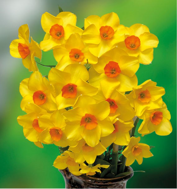Narcisse jonquille martinette