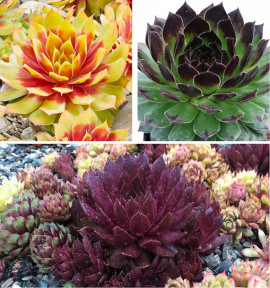 COLIBRIANT 3 SEMPERVIVUM CHICK CHARMS® : 1 GOLD NUGGET + 1 CHOCOLATE KISS + 1 APPLETINI