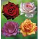 COLIBRIANT 4 ROSIERS BUISSONS : 1 MILDRED SCHEEL + 1 VIOLETTE PARFUMÉE + 1 PRINCE JARDINIER + 1 SOLEDAD