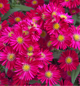 ASTER NAIN D'AUTOMNE JENNY