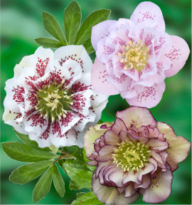 COLIBRIANT 3 HELLEBORES DOUBLES ELLEN® : 1 PICOTEE + 1 WHITE SPOTTED + 1 PINK