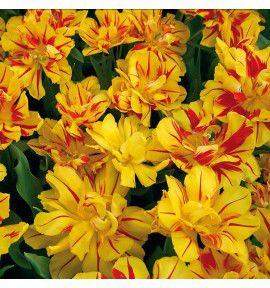 TULIPE DOUBLE HATIVE MONSELLA