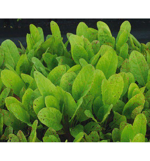 Oseille epinard plante en ligne for Plante en ligne