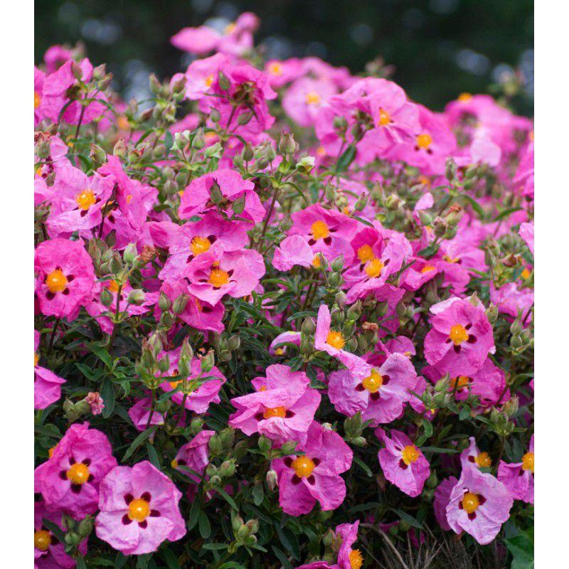Cistus purpureus plante en ligne for Plantes en ligne
