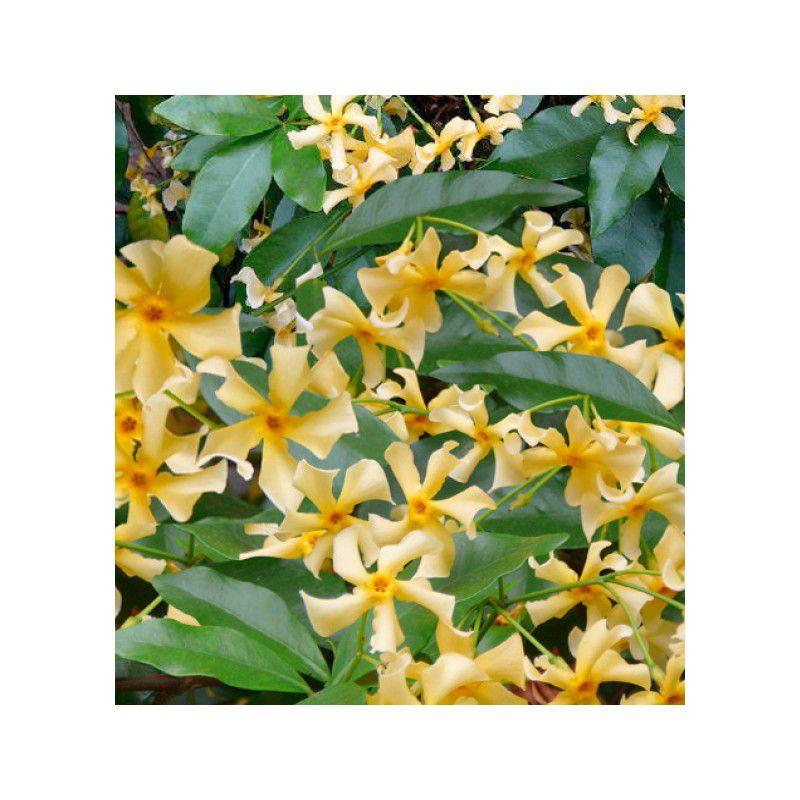 Jasmin etoile star de toscane plante en ligne - Jasmin etoile en pot ...
