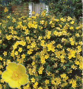 arbustes a floraison estivale jacques briant plantes en ligne p pini res jacques briant. Black Bedroom Furniture Sets. Home Design Ideas