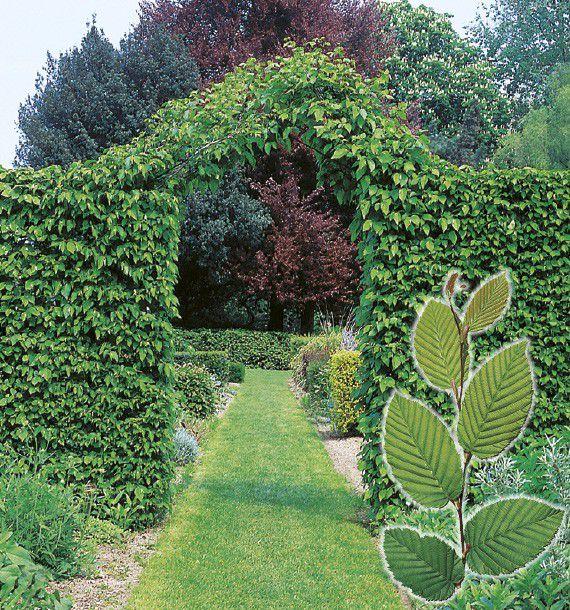 Charmille plante en ligne for Plante en ligne
