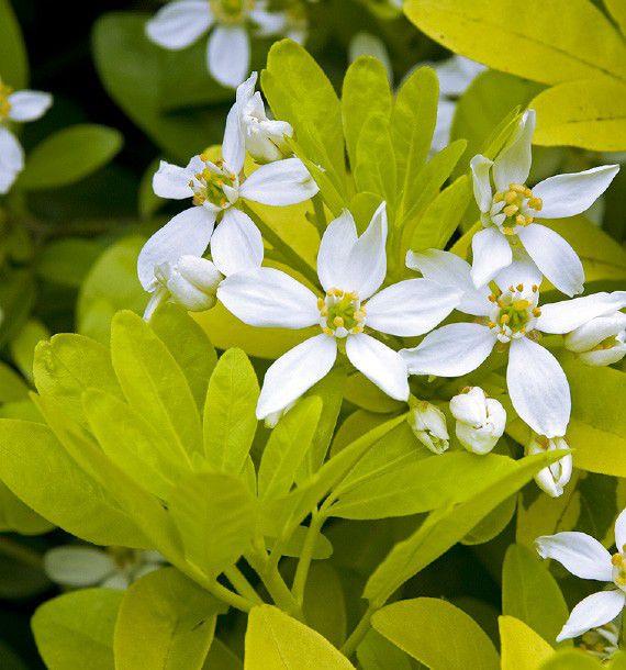 Oranger du mexique dore plante en ligne - Plante du mexique ...