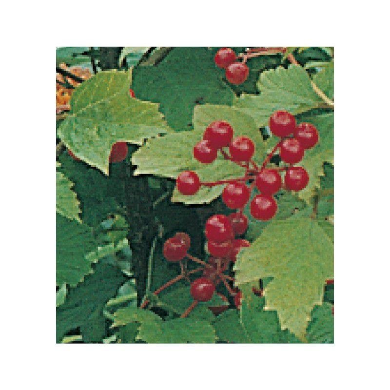 Viorne obier plante en ligne for Plante en ligne