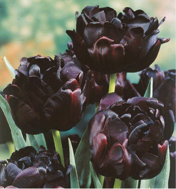 tulipe a fleurs de pivoines black hero plante en ligne. Black Bedroom Furniture Sets. Home Design Ideas