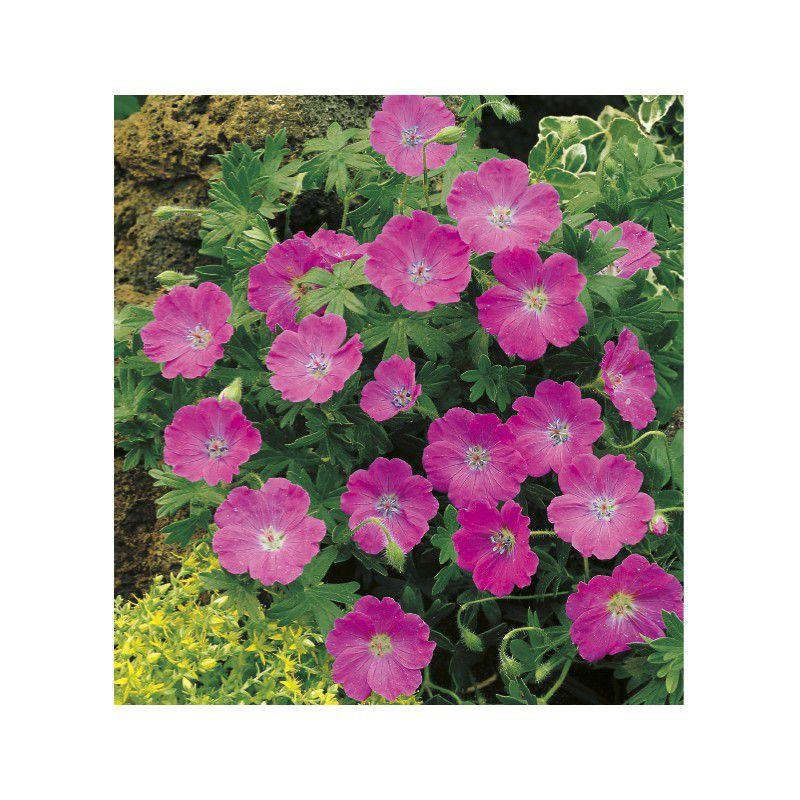 Geranium sanguineum plante en ligne for Geranium d interieur