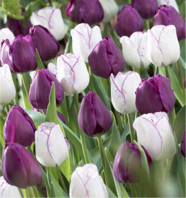 COLLECTION 20 TULIPES TRIOMPHE : 10 NEGRITA + 10 SHIRLEY