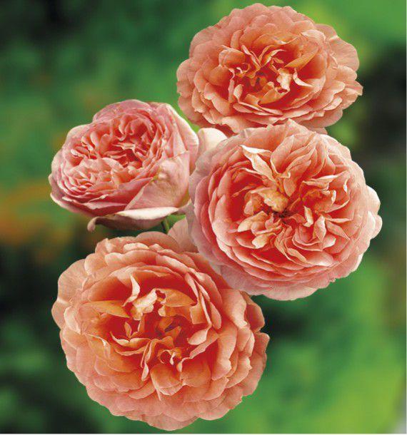 Rosier anglais abraham darby plante en ligne - Rouille rosier traitement naturel ...