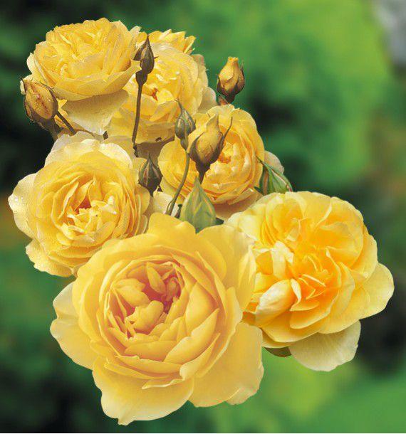 Rosier anglais graham thomas plante en ligne - Rouille rosier traitement naturel ...